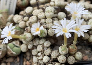 Conophytum fraternum in Blüte